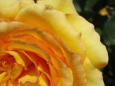 close up on a yellow rose flower head
