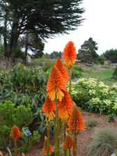 distinctive flower heads of the Kniphofia aka red hot poker of torch lily