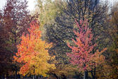 Beautiful autumnal woodland background with two young trees bedecked in vivid orange, red and yellow leaves in the foreground