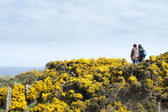Bright colourful yellow gorse bushes growing on the Cleveland Way footpath along the Yorkshire coast with a couple of backpackers taking a healthy outdoor walk along the cliff tops