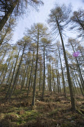Tall evergreen coniferous trees in an open woodland setting under a clear sunny blue sky